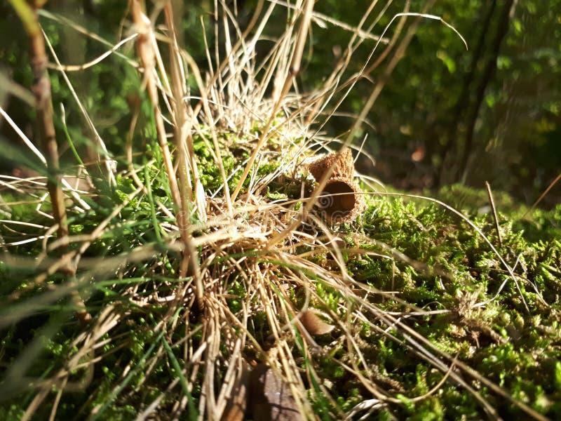 En gir i gräset royaltyfria foton