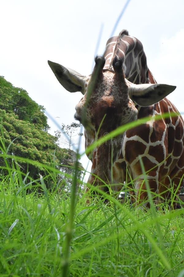 En Giraf på zoologiska trädgårdar, Dehiwala colombo lankasri royaltyfri fotografi