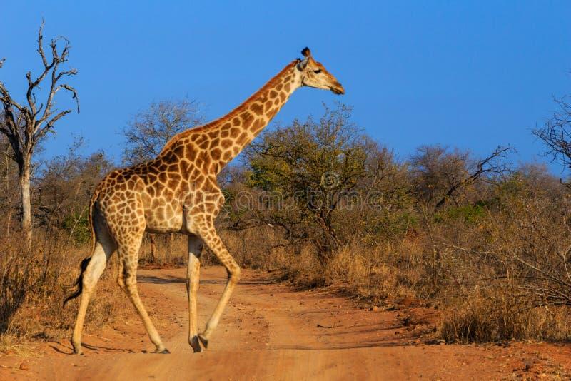 En giraff korsar vägen royaltyfri fotografi