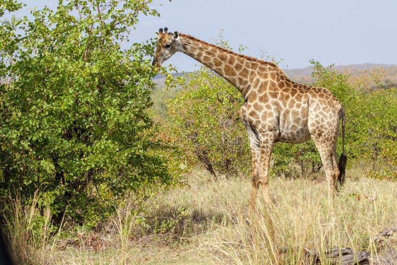 En giraff som äter ett träd i den Kruger nationalparken arkivfoton