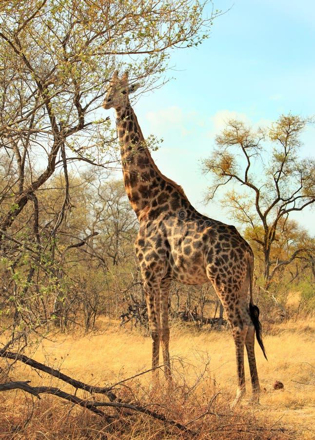 En giraff som matar på ett träd med vibrerande blå himmel i den Hwange nationalparken, Zimbabwe, sydliga Afrika royaltyfri bild