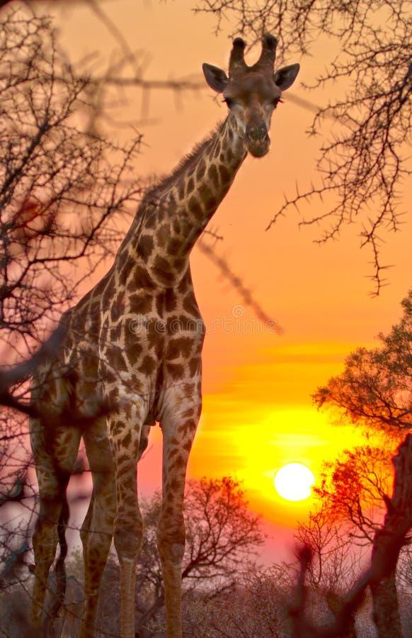 En giraffGiraffa Camelopardalis plirar till och med den afrikanska busken med solinställningen arkivbild
