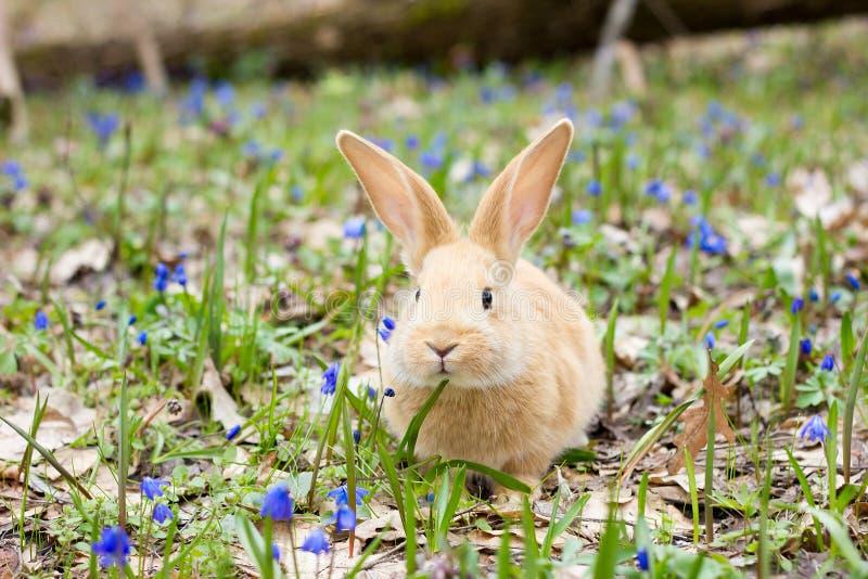 En glänta av blåa vårblommor med lite fluffig röd kanin, en påskkanin arkivfoton