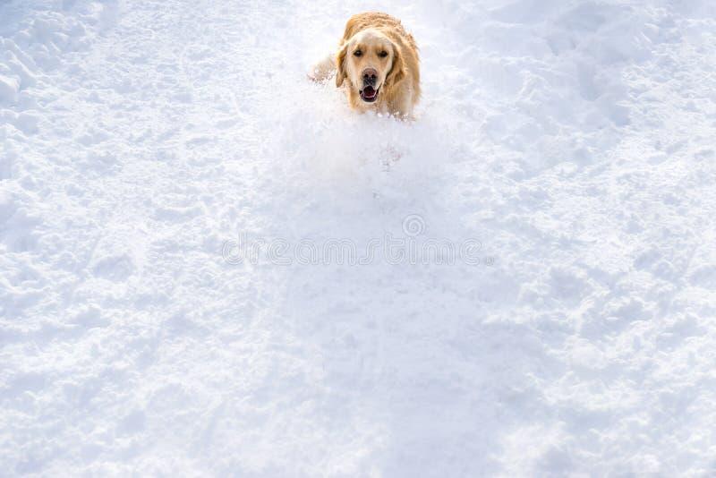 En golden retriever kör lyckligt ner en dold kulle för snö arkivbild