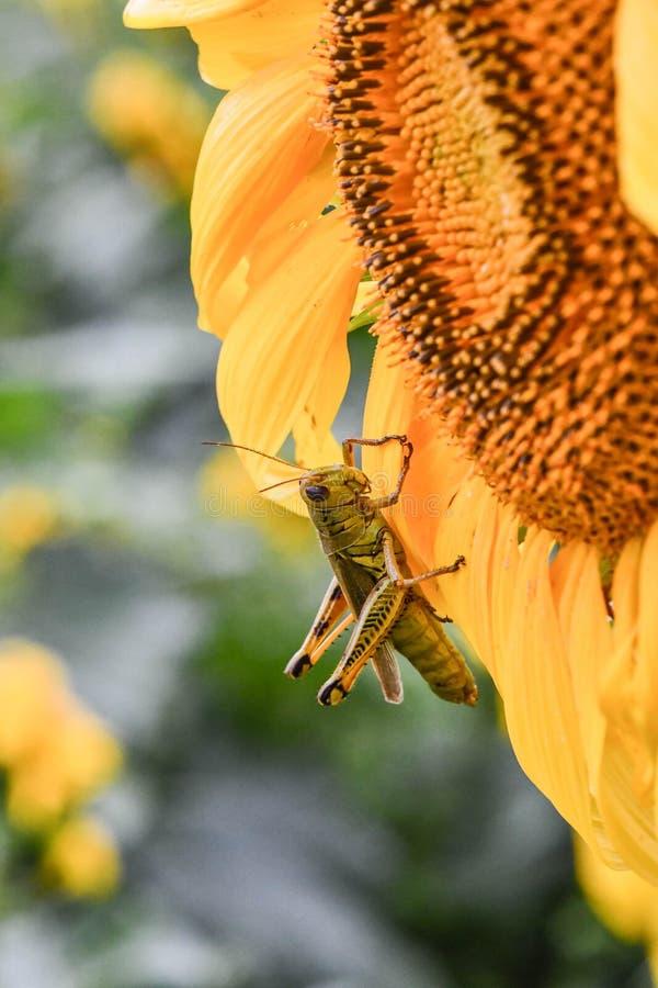 En gräshoppa på en blommande solros, jaspis, Georgia, USA royaltyfri foto