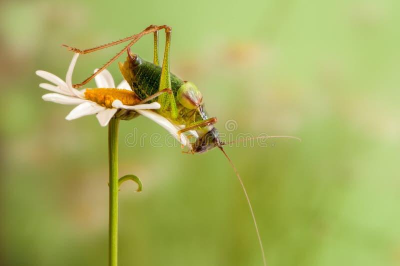 En gräshoppa sitter på en tusensköna och värmer upp i ottan royaltyfri fotografi