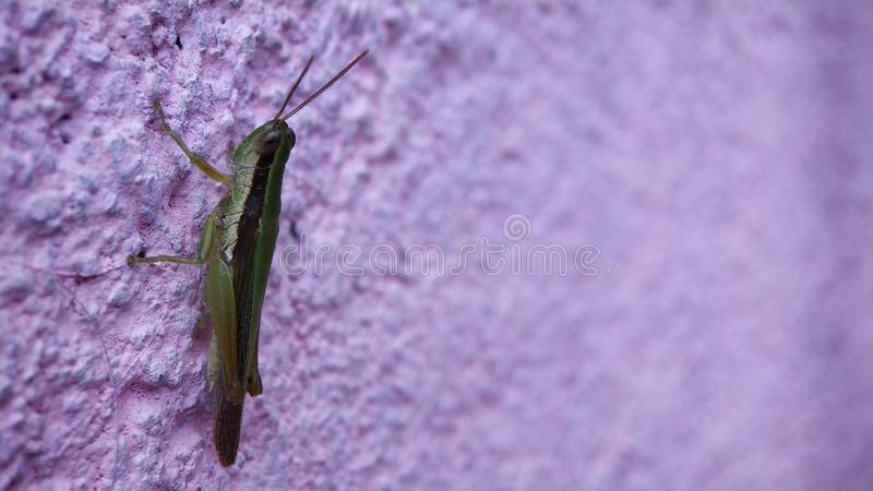 En gräshoppa som sitter på ett skott för väggaftontid med lågt ljus arkivfoton