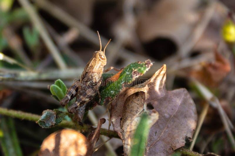 En gräshoppa som vilar på ett torrt blad arkivbilder