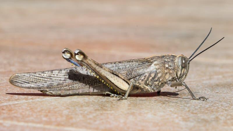 En gräshoppas profil på tegelplattor arkivfoto