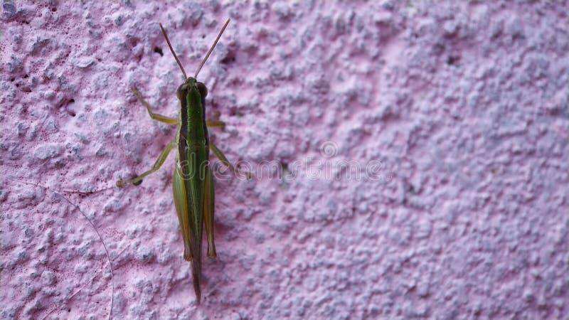 En gräshopper som sitter på den brinnande rosa väggen arkivfoto