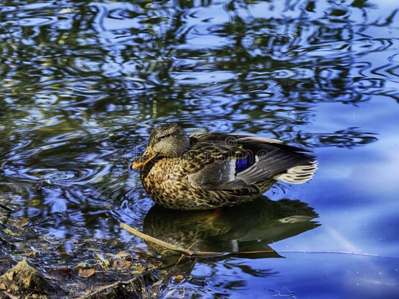 En grässlätt-/gräsandand i blått vatten royaltyfria bilder