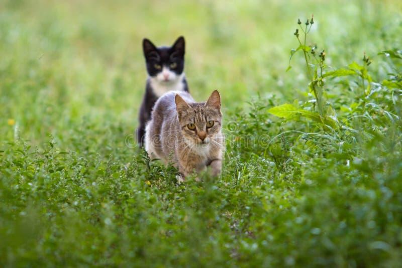 En grå katt går bland gräset, och en andra svart katt sitter baktill arkivfoto