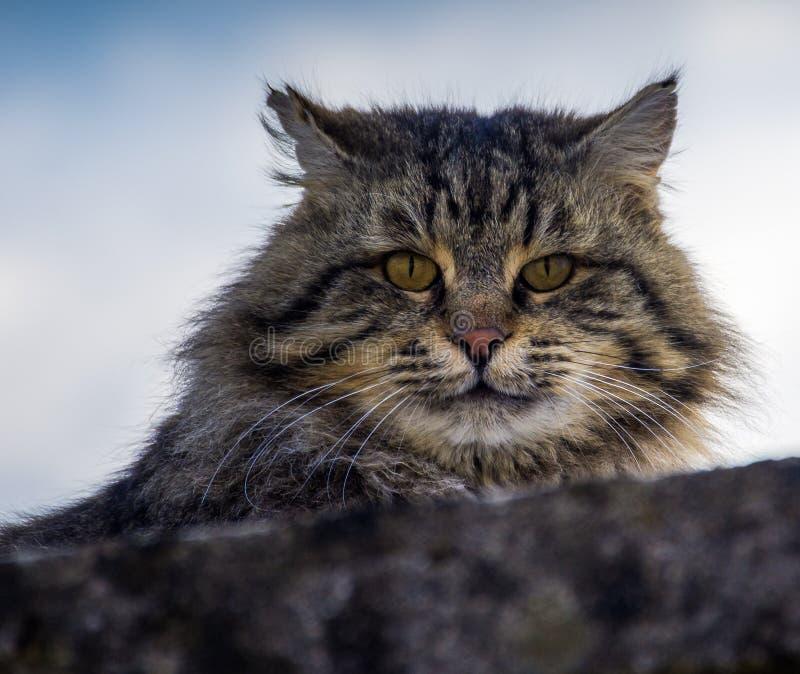 En grå katt som överst kikar från en grå vägg royaltyfri foto