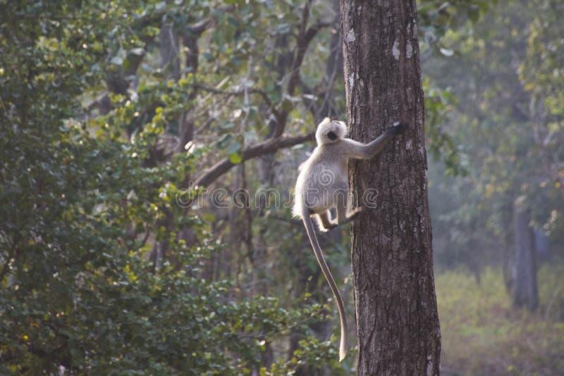 En grå langur som klättrar ett träd royaltyfri fotografi