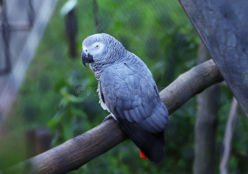 En grå papegoja, psittacuserithacus som sitter på filialen av det lövfällande trädet En grå papegoja som ser på kamera i höga fil royaltyfri foto
