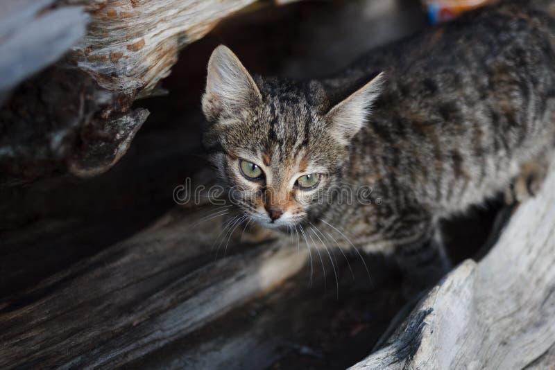 En grå randig katt på en stam av ett kollapsat enträd ser Katt i det löst fotografering för bildbyråer