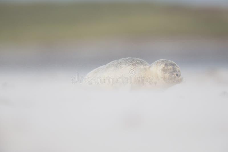 En grå valp för skyddsremsaHalichoerus grypus som täckas med sand och vind som lägger på stranden av Heligoland royaltyfria foton