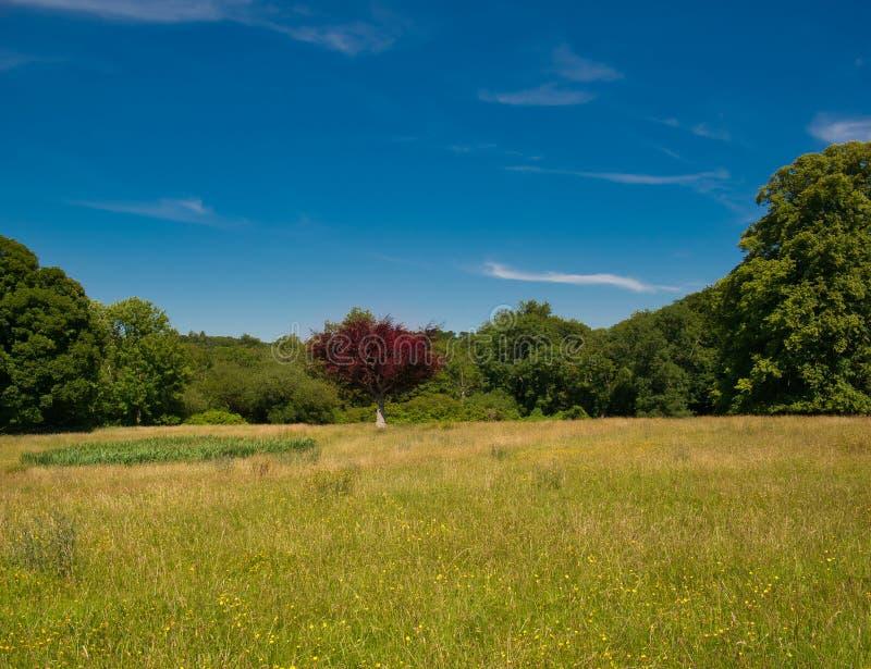 En grön äng med ett rött träd och en blå himmel royaltyfria bilder