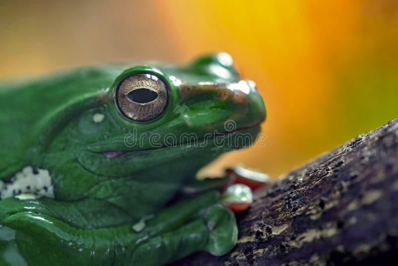 En grön groda eller padda arkivbild
