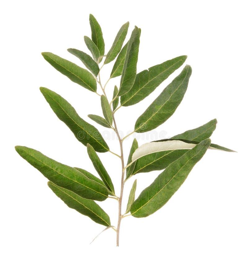 En grön olivgrön filial arkivfoton