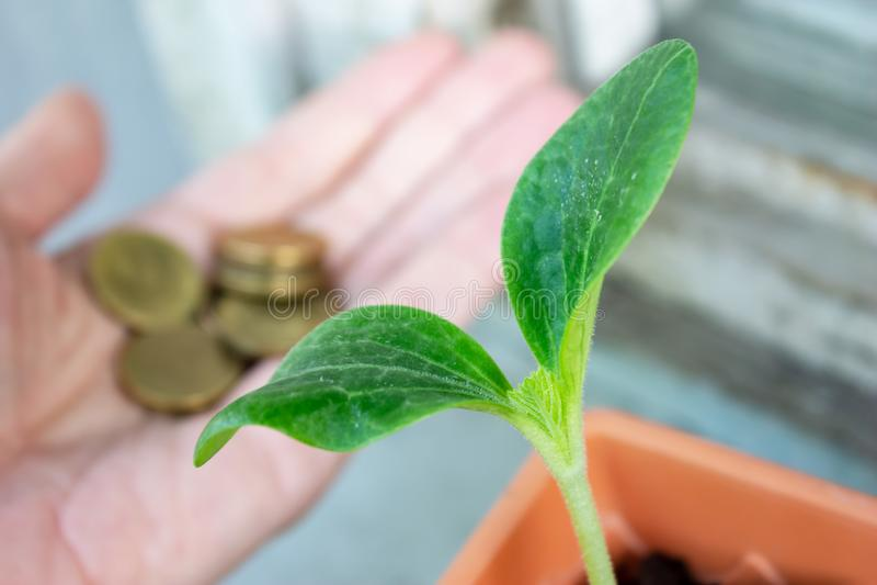 En grön planta av zucchinin och en hand med mynt på bakgrund - ekonomi och finansiellt växande begrepp arkivbilder