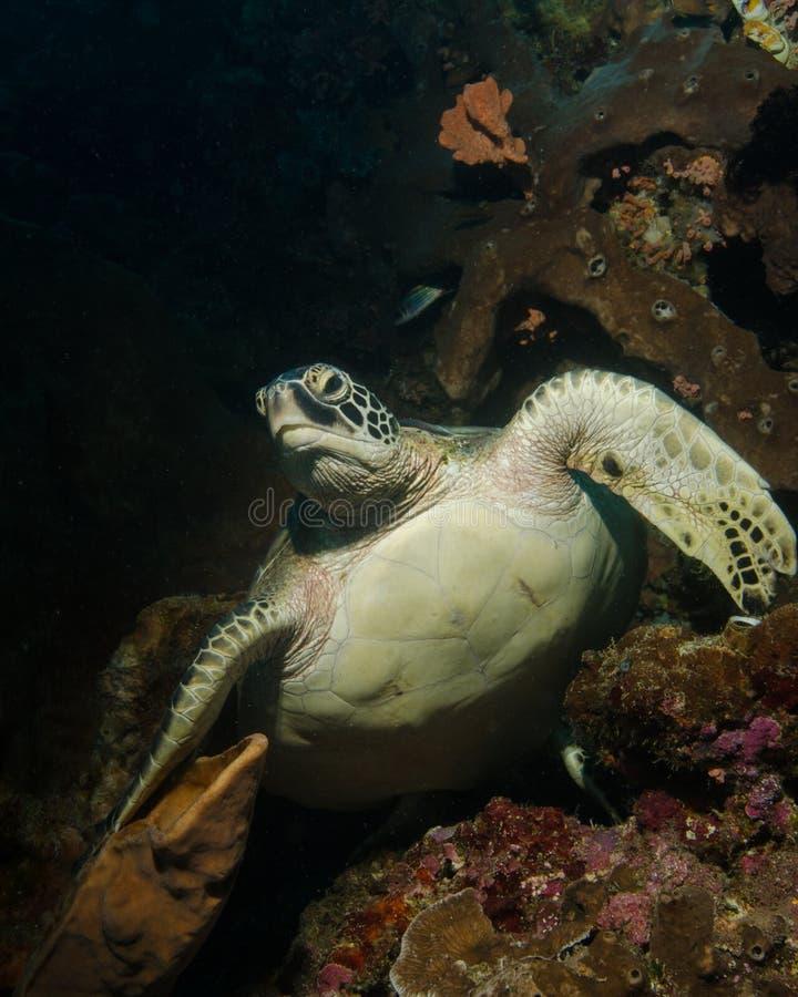 En grön sköldpadda vilar på reven i norr Sulawesi i Indonesien royaltyfri bild