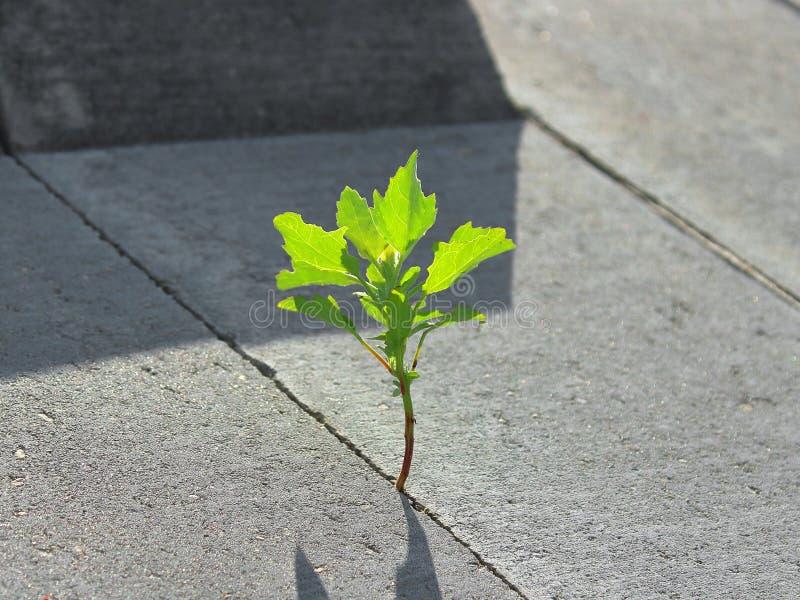 En grön växt har brutet till och med betong royaltyfria bilder