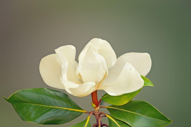 En grandiflora härlig blomma av magnolia Fritt avstånd för text arkivfoto