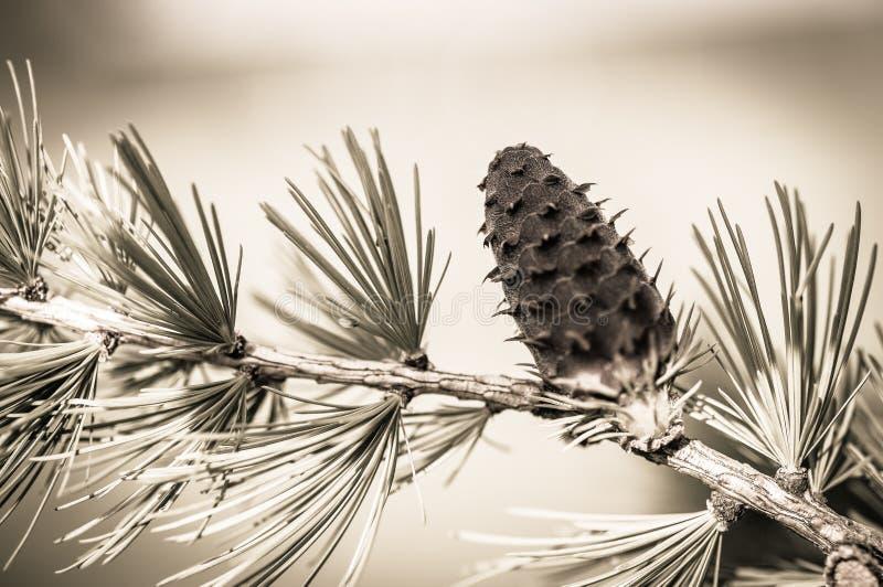 En granträdfilial och dess sörjer kotten i svartvitt och närbild fotografering för bildbyråer
