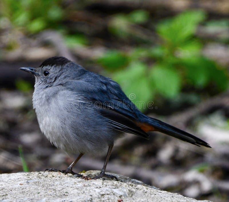 En Gray Catbird #2 arkivfoto
