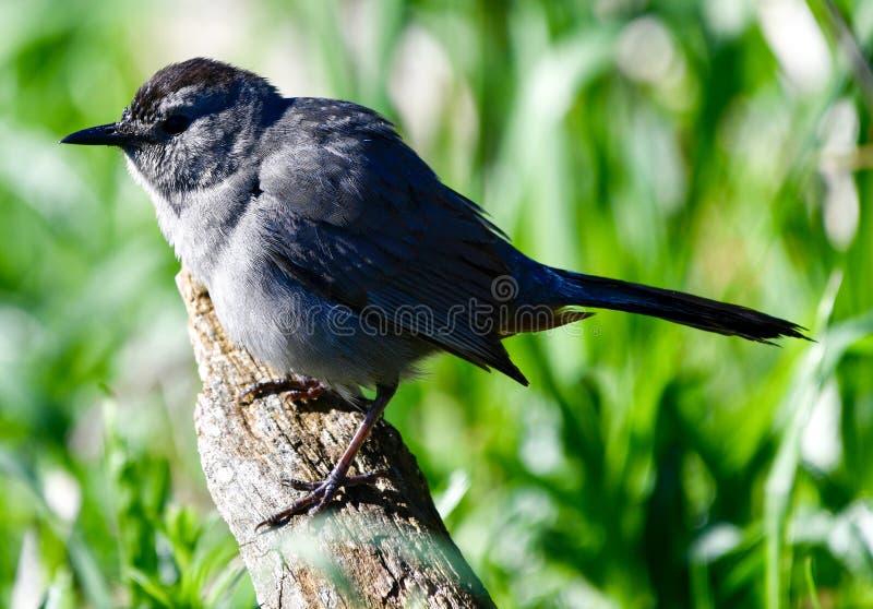 En Gray Catbird arkivfoton