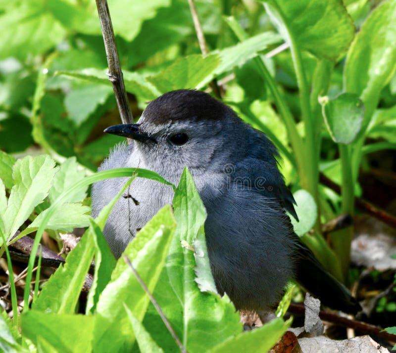 En Gray Catbird #3 royaltyfri foto