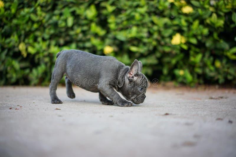En Gray French Bull Dog royaltyfri bild