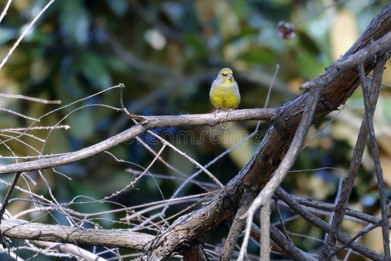En greenfinch - chloris - söka efter mat i trät arkivbilder