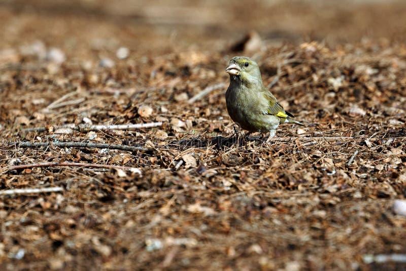 En greenfinch - chloris - söka efter mat i trät royaltyfri fotografi