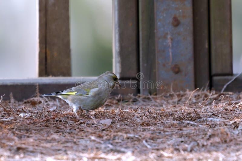 En greenfinch - chloris - söka efter mat i trät royaltyfri bild