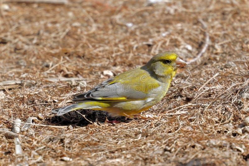 En greenfinch - chloris - söka efter mat i trät arkivbild