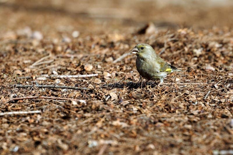 En greenfinch - chloris - söka efter mat i trät royaltyfria bilder
