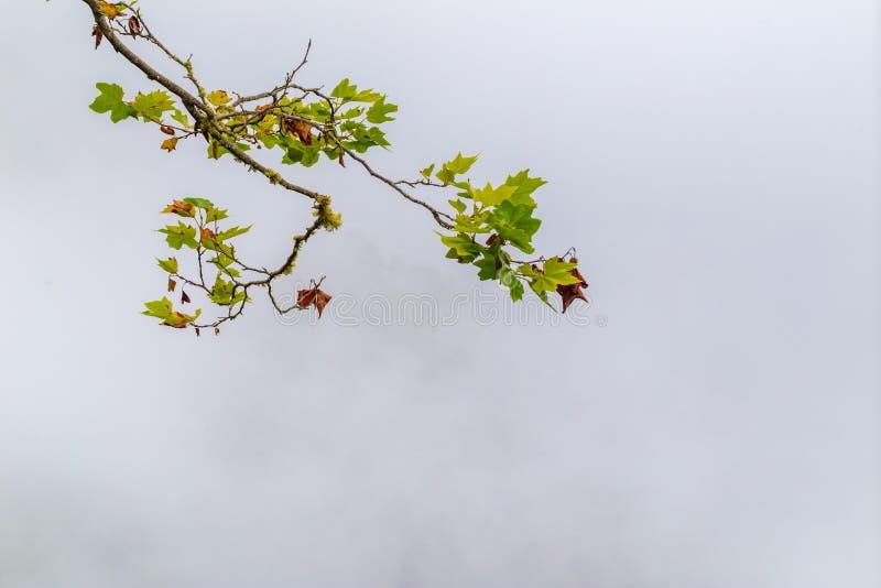 En gren av ett planträd med gröna blad på dimbakgrunden arkivbild