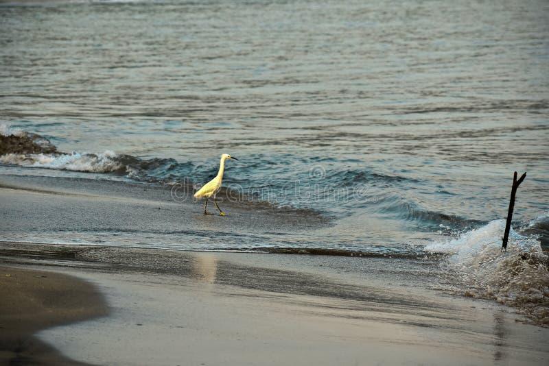 En gret som viftar i vågorna i Costa Rica royaltyfri foto