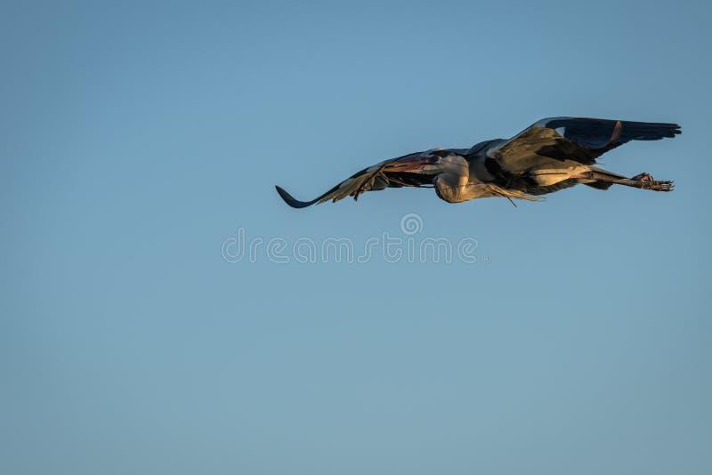 En Grey Heron i flykten royaltyfri foto