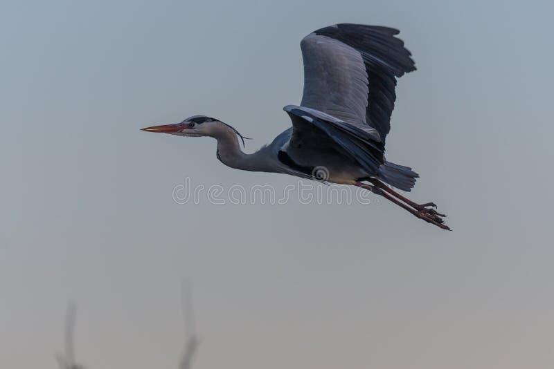 En Grey Heron i flykten royaltyfri fotografi