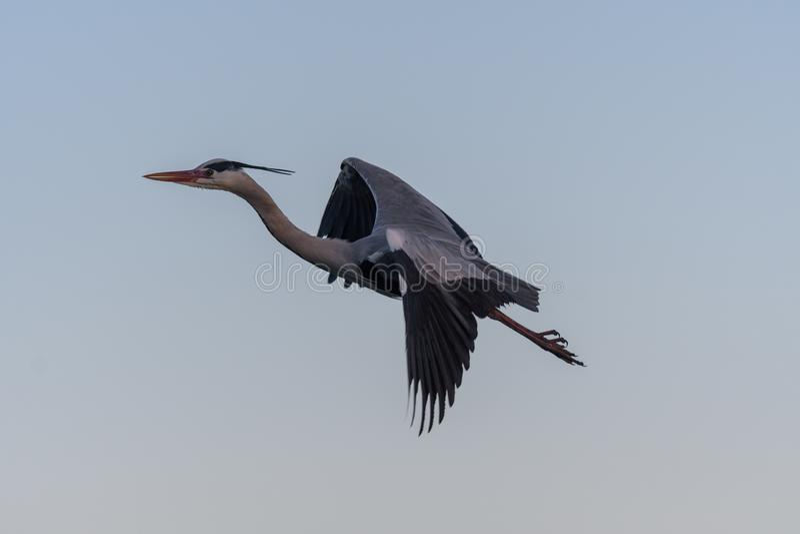 En Grey Heron i flykten royaltyfria bilder