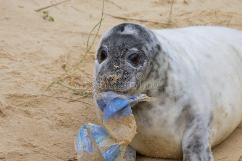 En Grey Seal valp med rackar ner på arkivfoto