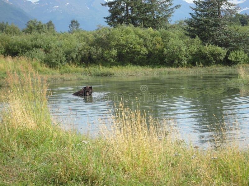 En grisslybjörn som simmar i en pöl royaltyfri bild