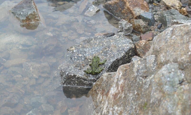 En groda i rent vatten på en granitsten arkivfoto