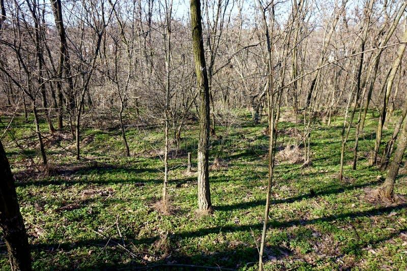 En grund ravin i skogen som är bevuxen med tidigt vårgräs arkivbild
