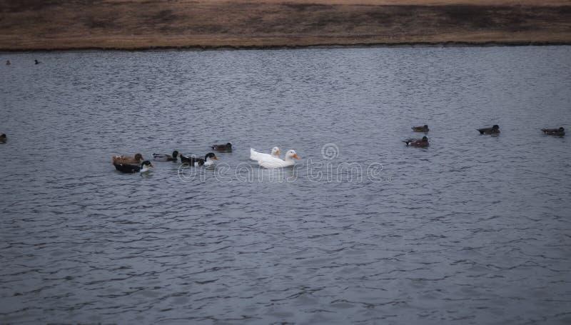 En grupp av änder som simmar på sjön arkivbilder