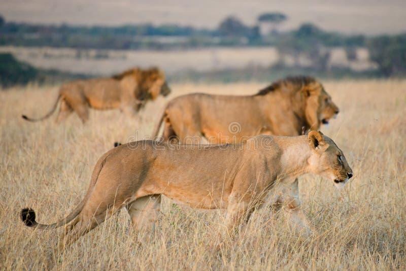 En grupp av Afrika lejon arkivbild