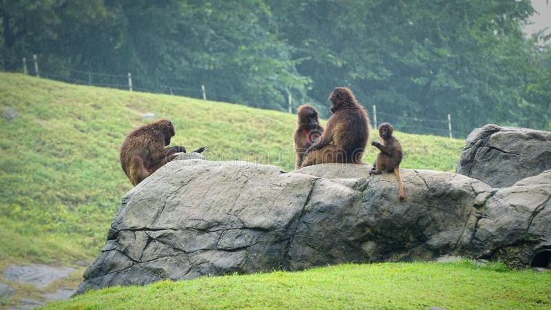 En grupp av apor, apakonung royaltyfria foton